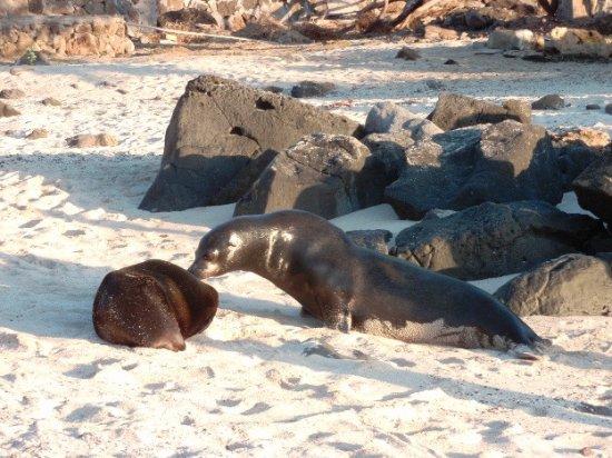 San Cristobal, الإكوادور: Leone in spiaggia