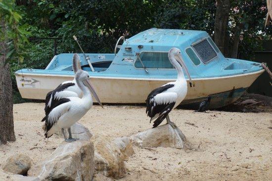 Blacktown, Australia: pelicans