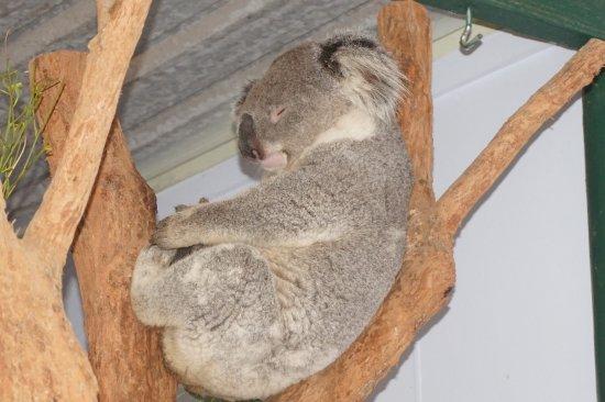 Blacktown, Australia: cute koala