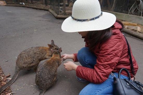 Blacktown, Australia: feeding roos!!