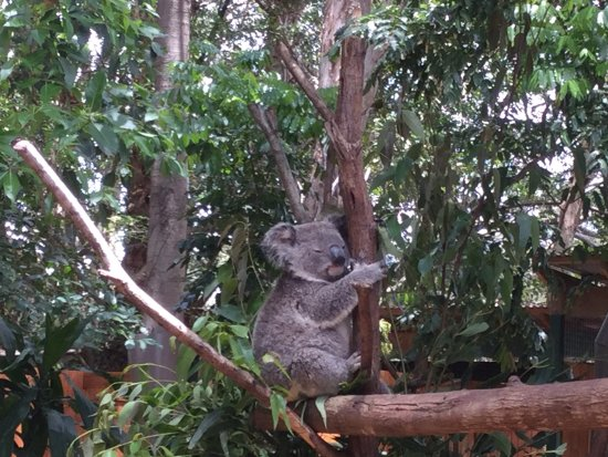 Currumbin, Australia: The famous Koala