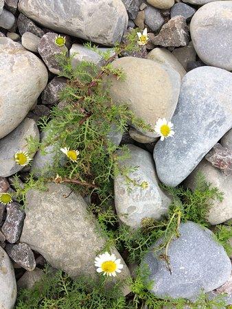 Llantwit Major, UK: Flowers in the pebbles