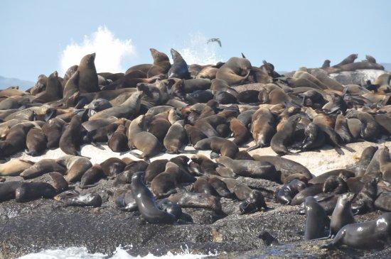 Hout Bay, Sør-Afrika: Colonia de Leones