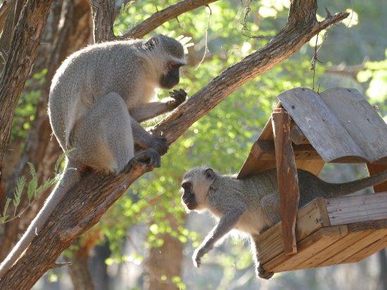 Marloth Park, South Africa: Herrlich diese Seekatzen so nah zu beobachten