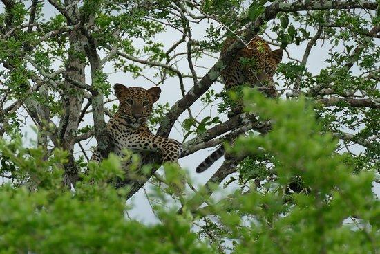 Tissamaharama, Sri Lanka: The last two leopards we saw
