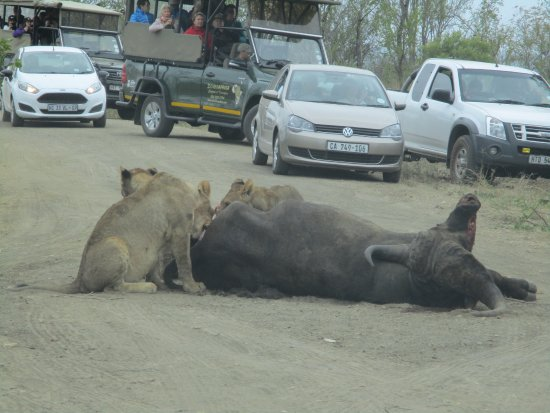 Satara Rest Camp: Buffalo kill.