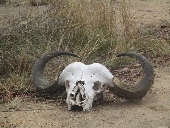 Satara Rest Camp: One very dead buffalo.