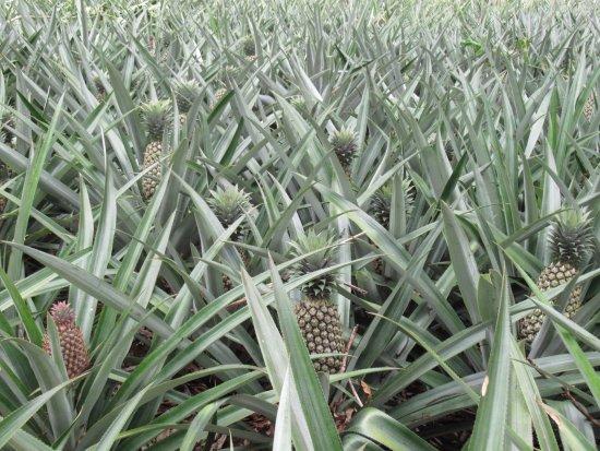 Papetoai, Fransk Polynesia: Plantation d'ananas