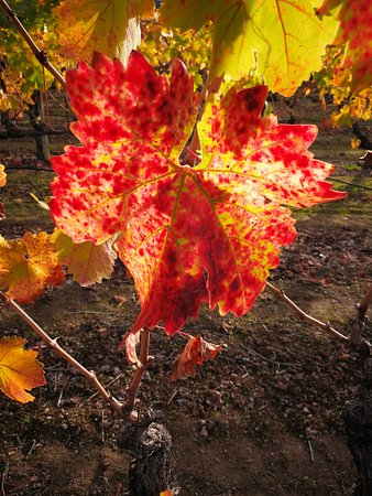 Healdsburg, CA: vines in the fall