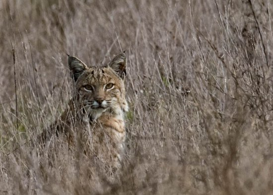 Point Reyes Station, CA: Bobcat-checking me out. He took off right after he heard the click of the camera.