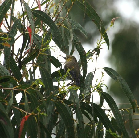 Bruny Island, Australia: Forty Spotted Pardalote, Inala