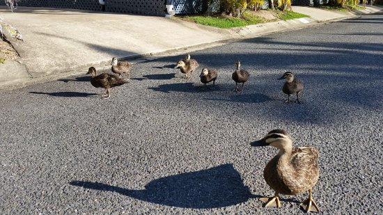 Tewantin, Australia: Resident mother duck and 7 ducklings were good entertainment walking down the road outside our c