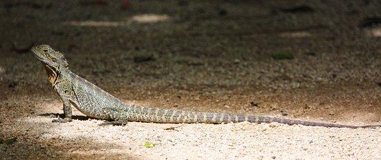 Bundaberg, Australië: Water Dragons of all sizes