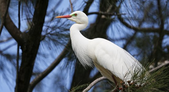 Bundaberg, Australië: Intermediate Egrets Breed on the Islands in the lakes