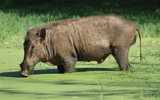 Yala - Wild Boar