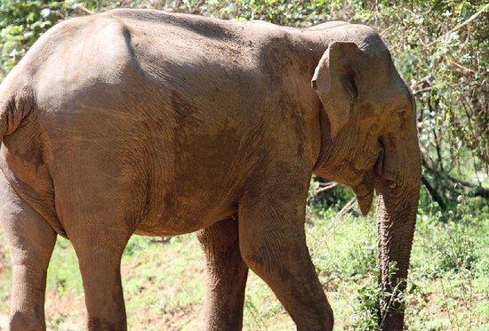 Yala - Elephant