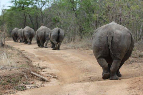 Kapama Southern Camp: 6 rhinos
