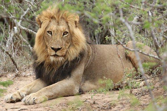 Kapama Southern Camp: The king