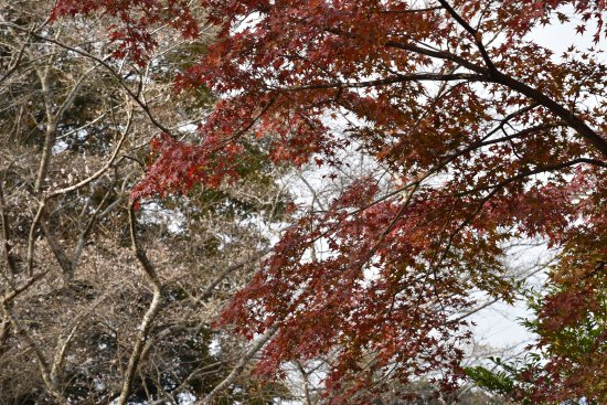 Obara Fureai Park / Shikizakura: Shikizakura and red leaves