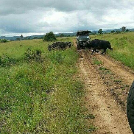 Iringa, Tanzania: it very lucky day to see buffalo crossing road in front of our  jeep was very lovely