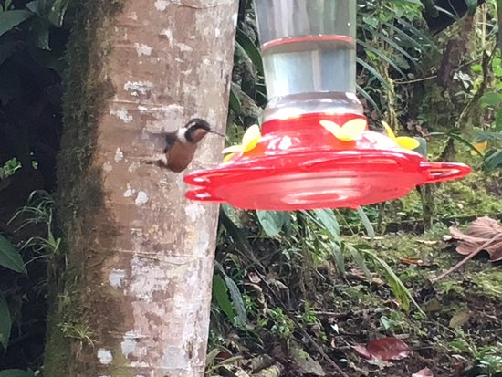 Sachatamia Lodge: Hummingbird