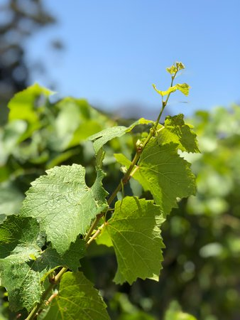 Paarl, South Africa: Grapes to come