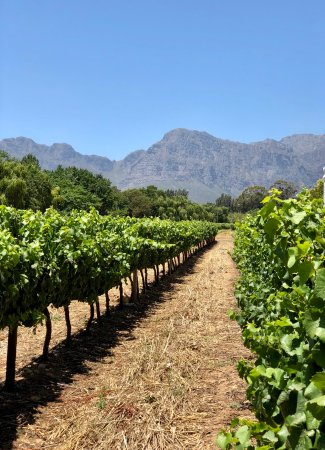 Paarl, South Africa: Wineyard