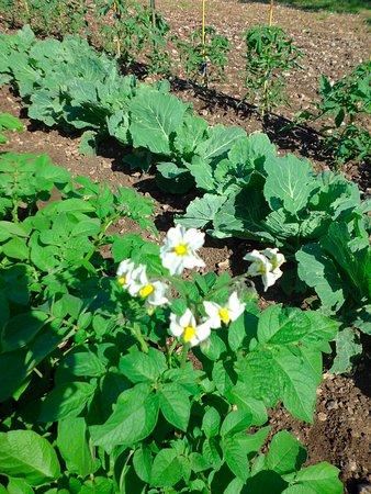 Varaire, France : Choux et Haricots verts du jardin