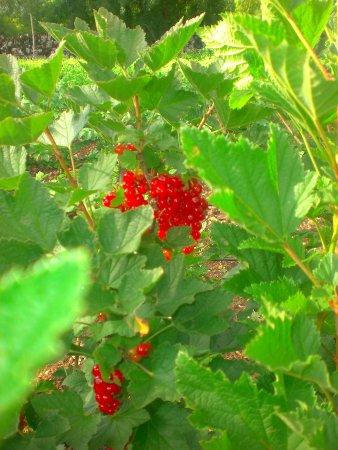 Varaire, France : Groseilliers du jardin