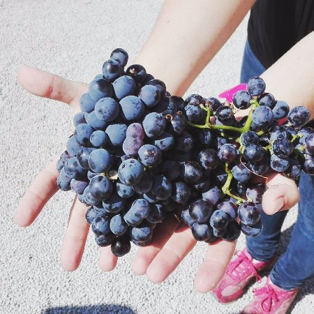 Khaniá by, Hellas: Grenache grapes at harvest time.