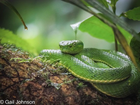 Monteverde Cloud Forest Reserve, Costa Rica: Viper