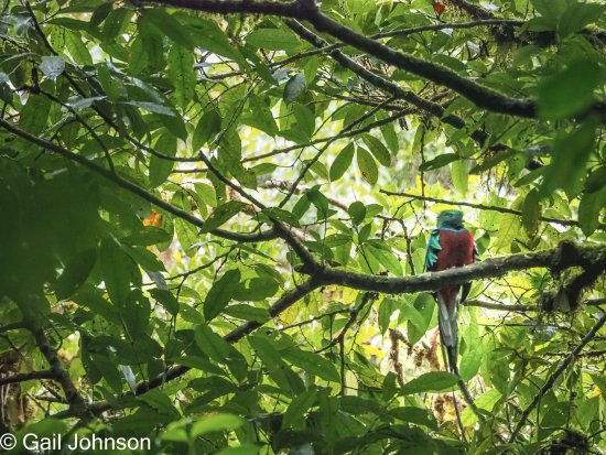Monteverde Cloud Forest Reserve, Costa Rica: Quetzal - one of 3 we saw