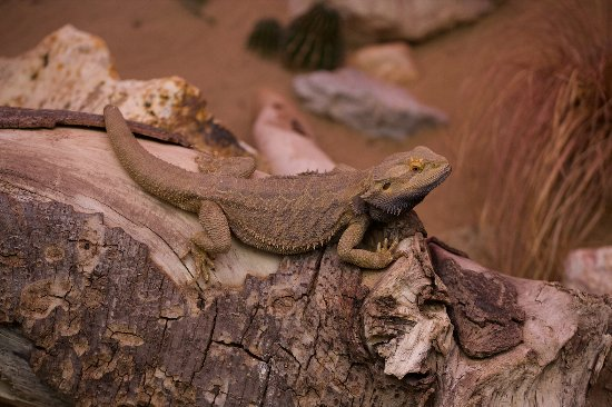 Debrecen Zoo and Botanical Garden : Lizard (I don't know the name of species)