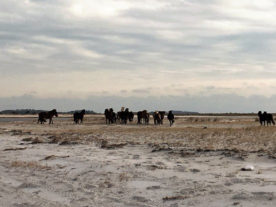 Cedar Island, Karolina Północna: Come see the Outer Banks Wild Horses roaming throughout the islands