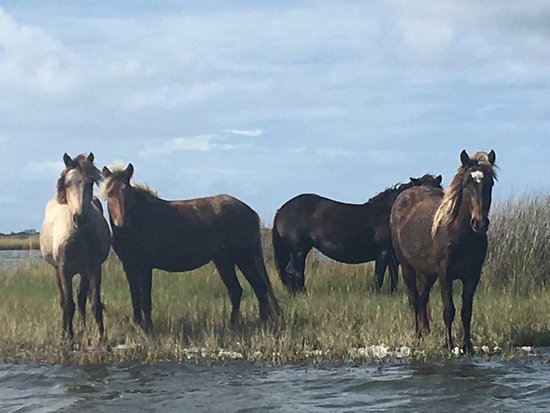 Cedar Island, Carolina del Norte: The Outer Banks Wild Horses are always curious about our trail rides