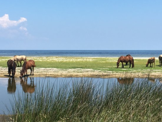 Cedar Island, NC: Grazing wild horses