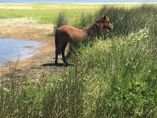 Cedar Island, Carolina del Norte: Young colts