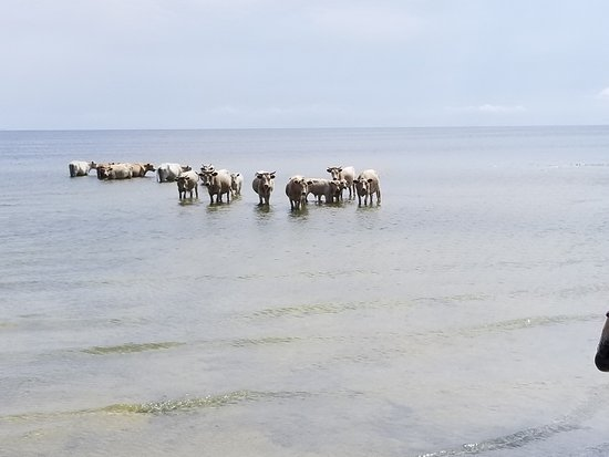 Cedar Island, NC: Free range cattle roam the islands and cool off on hot days