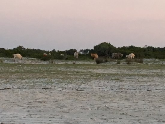 Cedar Island, NC: Grazing cattle