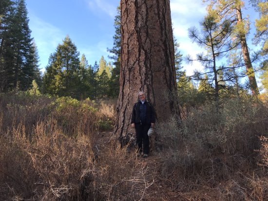 There are still some BFT's around McCloud, like this Ponderosa pine on the River Trail.