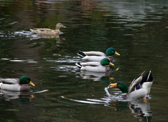 Ashland, Oregón: Mallard ducks at Lithia Park pond.
