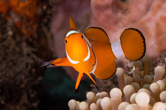 Chalong, Tailandia: Clown anemonefish