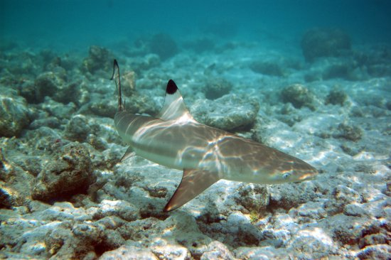 Chalong, Tailandia: Black Tip reef shark, Phi Phi