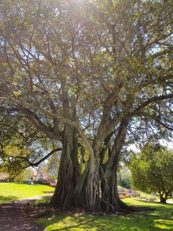 Cornwall Park: Beautiful trees