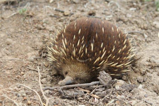 Legana, Australia: The resident echidna