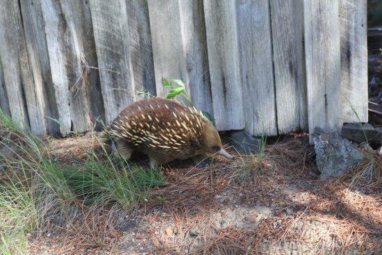 Legana, Αυστραλία: The resident echidna
