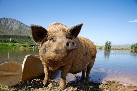 Stanford, Zuid-Afrika: Meet Crackling, our pet pig who likes to hang around the restaurant and have his belly rubbed