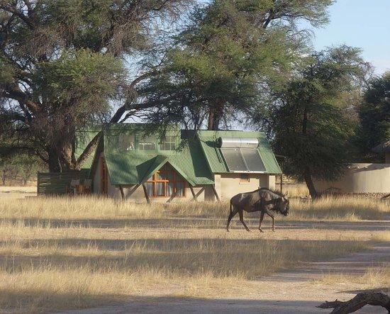 Kalahari game Lodge: gnous passing