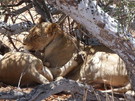 Karas Region, Namibia: lion tracking