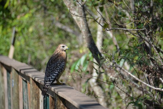 Clewiston, FL: hawk along the board walk
